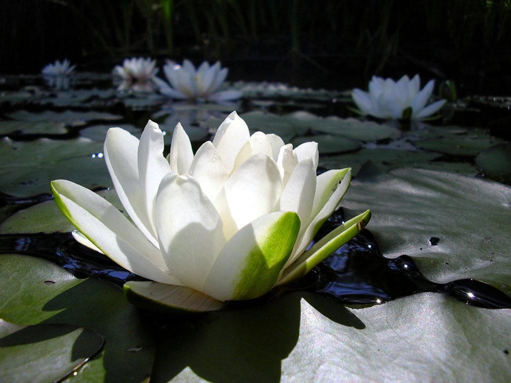 Feliz primavera!! La flor de loto